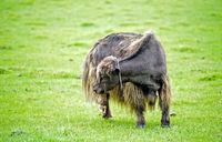 Yak auf der Weide