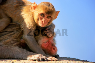 Rhesus macaque with a baby laying on a wall in Jaipur, Rajasthan, India