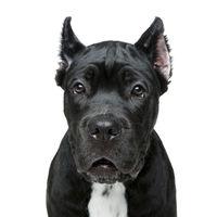 beautiful cane corso puppy