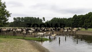 Herde am Wasser, wild lebende Pferde im Merfelder Bruch, Dülmen, Nordrhein-Westfalen, Juni,