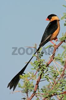 Shafttailed Whydah