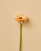 One beautiful flower beige gerbera