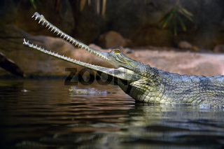 Gavial Indian - Gavialis gangeticus