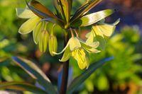 Persische Kaiserkrone - crown imperial flower in spring, Fritillaria persica