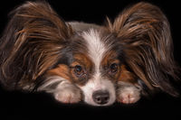 Beautiful young male dog Continental Toy Spaniel Papillon on black background