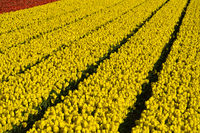 Feld mit gelben Tulpen der Sorte Yellow Purissima, Bollenstreek, Noordwijkerhout, Niederlande