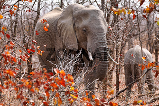 Elefant im herbstlichen Laub, Kruger NP, Südafrika, elephant at autumn in Kruger NP, South Africa