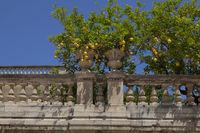 Zitronen (Citrus × limon)