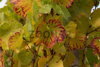 Herbstliches Weinlaub im Ahrtal