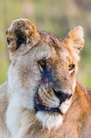 Lion portrait with scare on her face