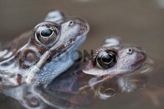 Grasfrosch / Common Frog / Rana temporaria
