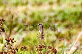 Red-backed shrike (Lanius collurio, juv)
