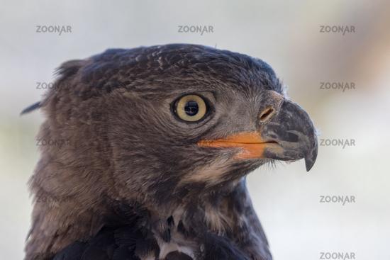 Eagle Kruger National Park