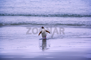 gelbaugenpinguin, megadyptes antipodes, neuseeland, suedinsel, curio bay, yellow-eyed penguin, new zealand, south island, curio bay