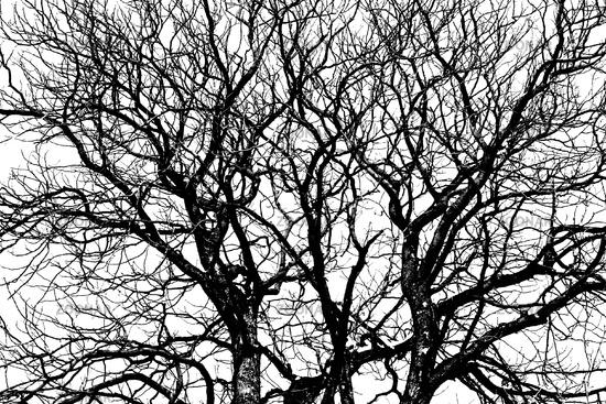 Kahler Baum - naked tree
