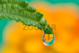 Flower refraction in a dew drop on a green leaf