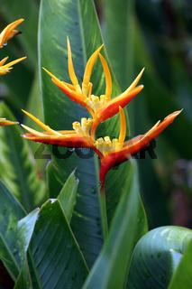Helikonie, Hummerschere (Heliconia sp.)