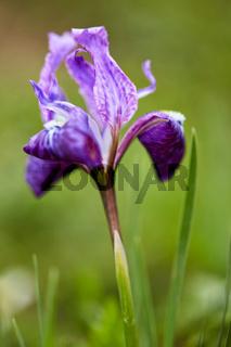Himalayan Iris close up