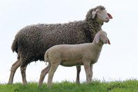 Muttertier und ihr Lamm, Schafe