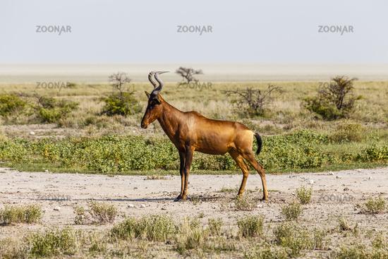 Kuhantilope, red hartebeest, Etosha Nationalpark, Namibia