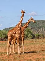 Giraffen in Afrika