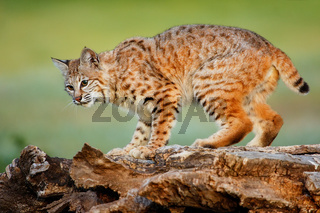 Bobcat standing on a log