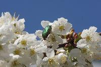 20180417_Prunus avium, Süßkirsche, Sweet Cherry012Rosenkäfer.jpg