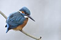 leichter Schneefall... Eisvogel *Alcedo atthis* im Winter