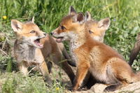 family of young red foxes playing near the burrow ( Vulpes )