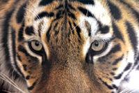 Auge in Auge mit dem Tiger