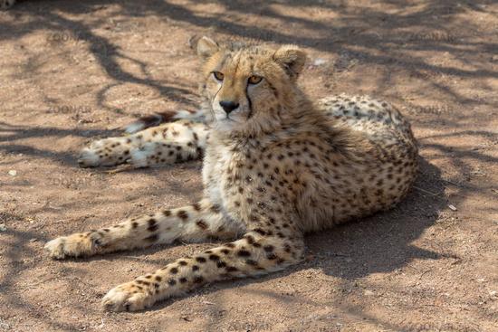 Cheetah Kruger National Park