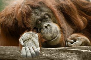 Orang-Utan (Pongo pygmaeus) - orang-outang (Pongo pygmaeus)
