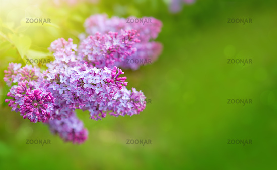 Lilac flowers isolated on green.