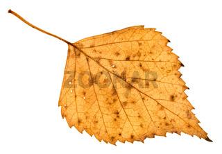 back side of fallen holey yellow leaf of birch
