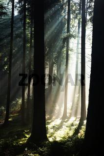 Frühnebel im Wald