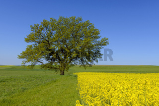 Oak trees in countryside