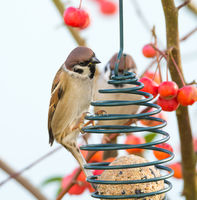Tree sparrows sitting at a bird feeder