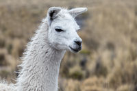 portrait of white lama