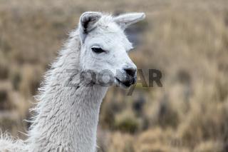 portrait of white lama