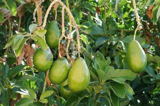 Avocadofruechte