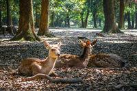 Sika deers Nara Park forest, Japan