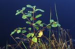 Faulbaum mit Beeren im Hochmoor - Frangula alnus