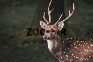 Cute fallow buck deer portrait