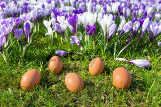 Five loose eggs lying near blooming crocuses