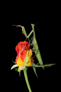Green Praying Mantis on a Rosebud