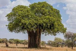 Afrikanischer Affenbrotbaum, Adansonia, im Tarangire Nationalpark, Tansania,