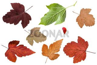 set of various leaves of viburnum trees isolated