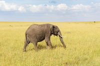 Elephant grazing in Masai Mara savanna