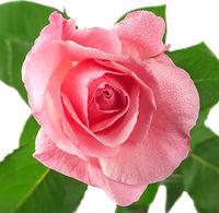 Pink rose flower covered dew