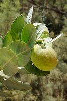 Poisonous Tree Apple of Sodom